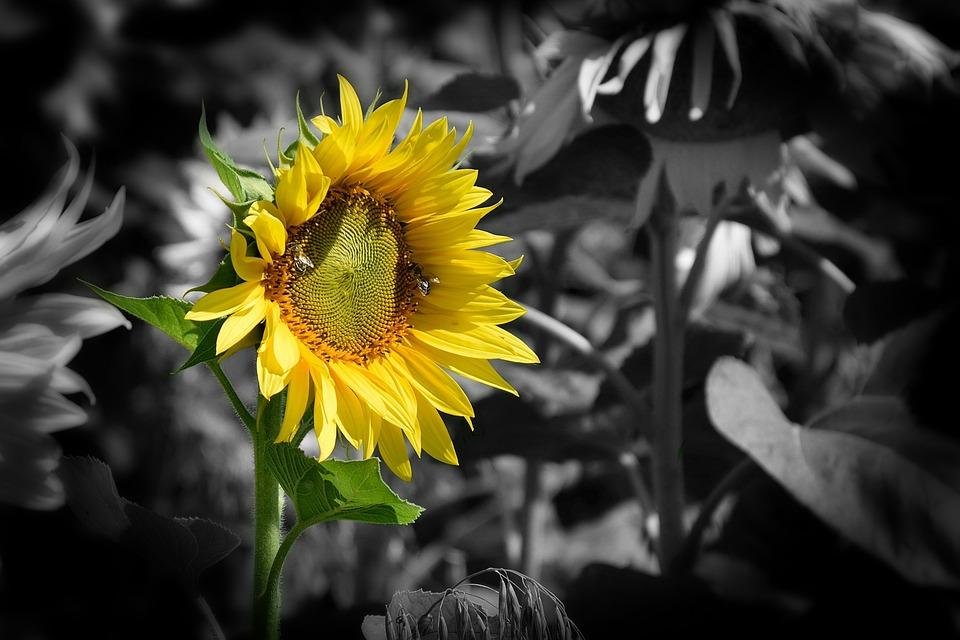 Wallpaper Background Gold Sun Beauty Flower Yellow