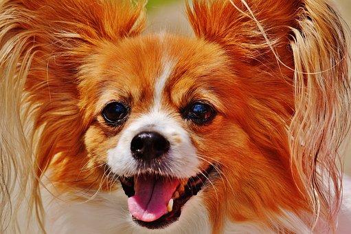 Dog, Chihuahua, Cute, Small Dog, Pets