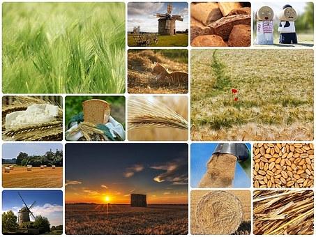 wheat-1532907__340.jpg