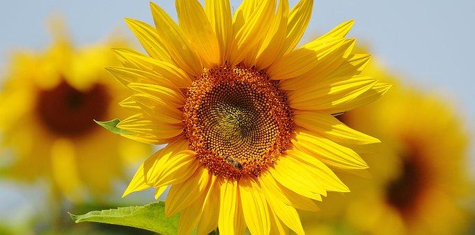 太阳花, 蜜蜂, 夏季, 花园, 开花, 黄色, 昆虫, 向日葵, 性质, 授粉