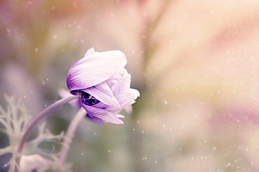 Anemone, Flower, Violet-White, Blossom