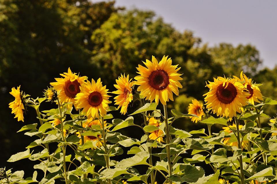 Kostenloses Foto: Sonnenblumen, Bienen, Sommer ...