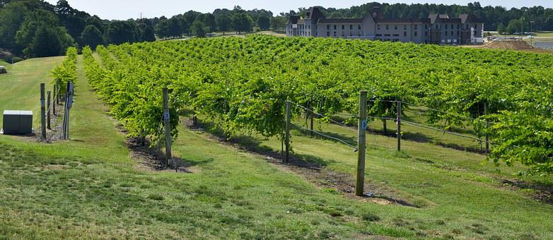 Vineyard, Winery, Landscape, Grapes