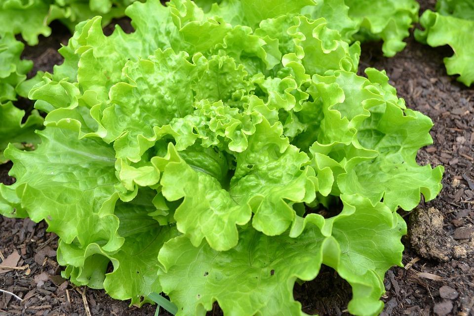 Photo Gratuite Laitue Batavia Salade Verte Image