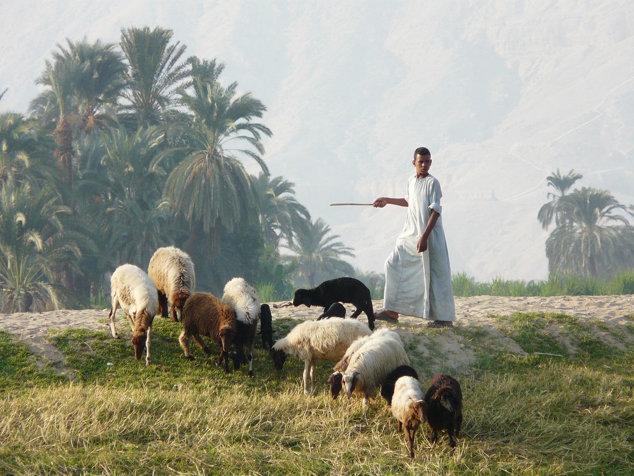 такого пастух и овцы картинки сделала