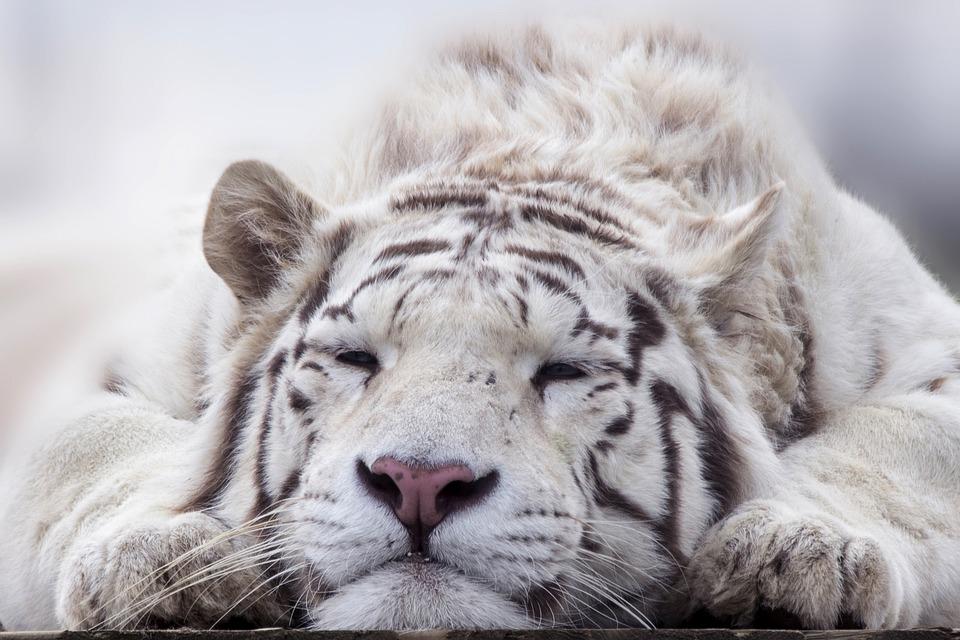 虎, ホワイト, 動物, 猫, プレデター, 動物園, ベンガル