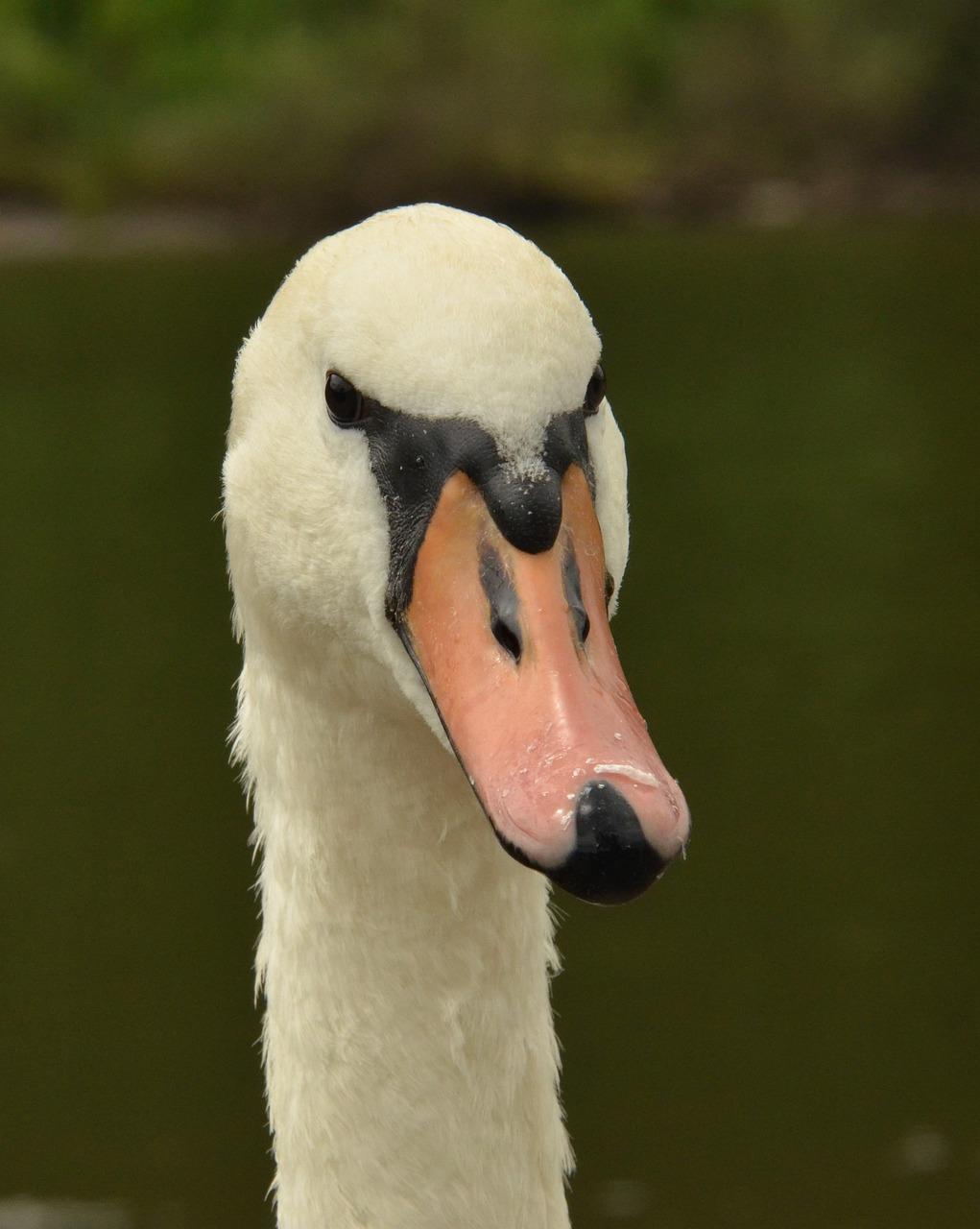 модели голова лебедя фото написали
