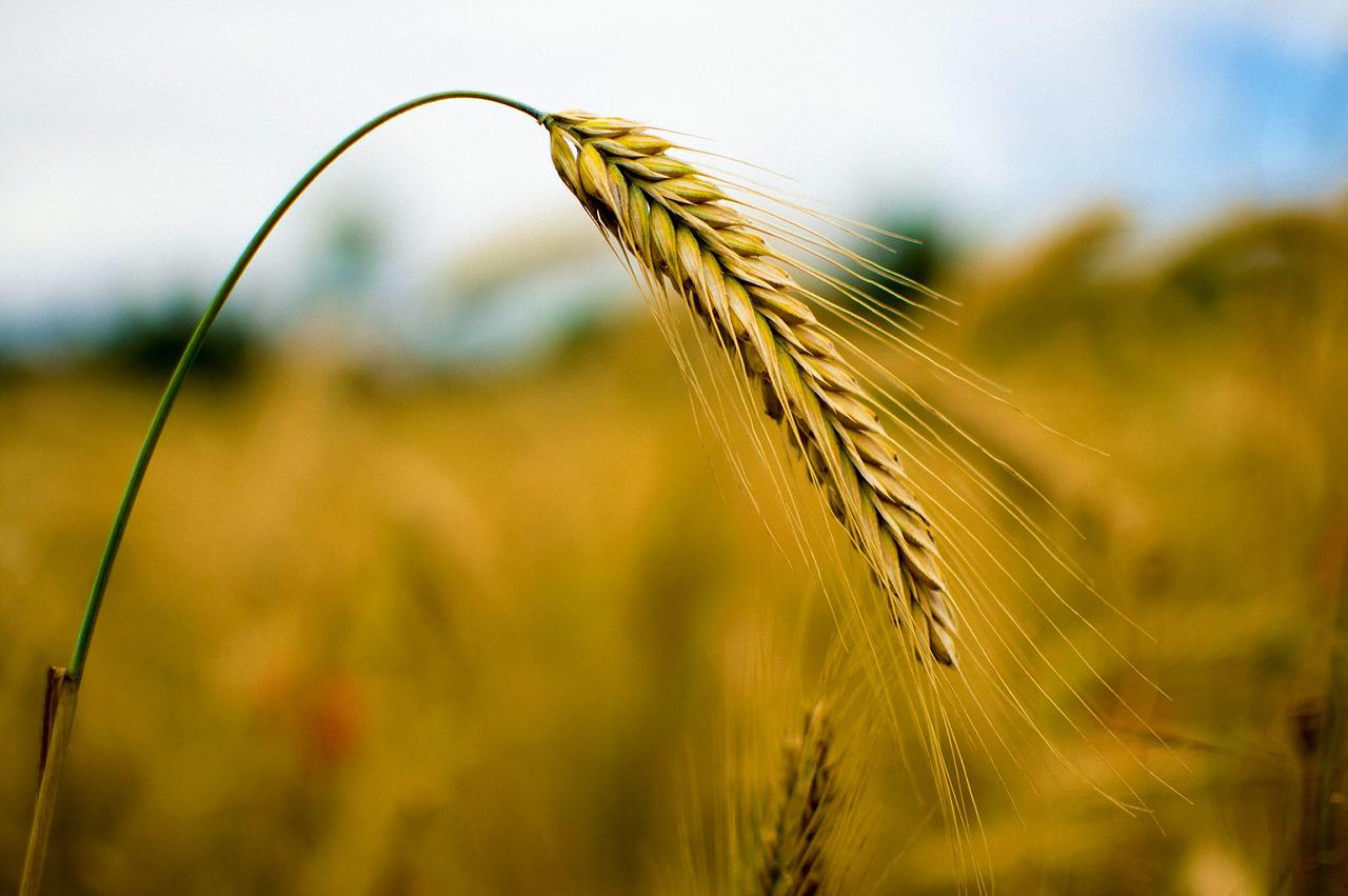 thesis on wheat crop Essay on indian crops article shared by the main food crops of india are rice, wheat, barely  essays, letters.