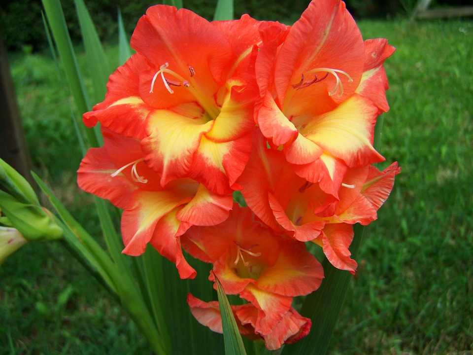 free photo gladiolus orange garden free image on