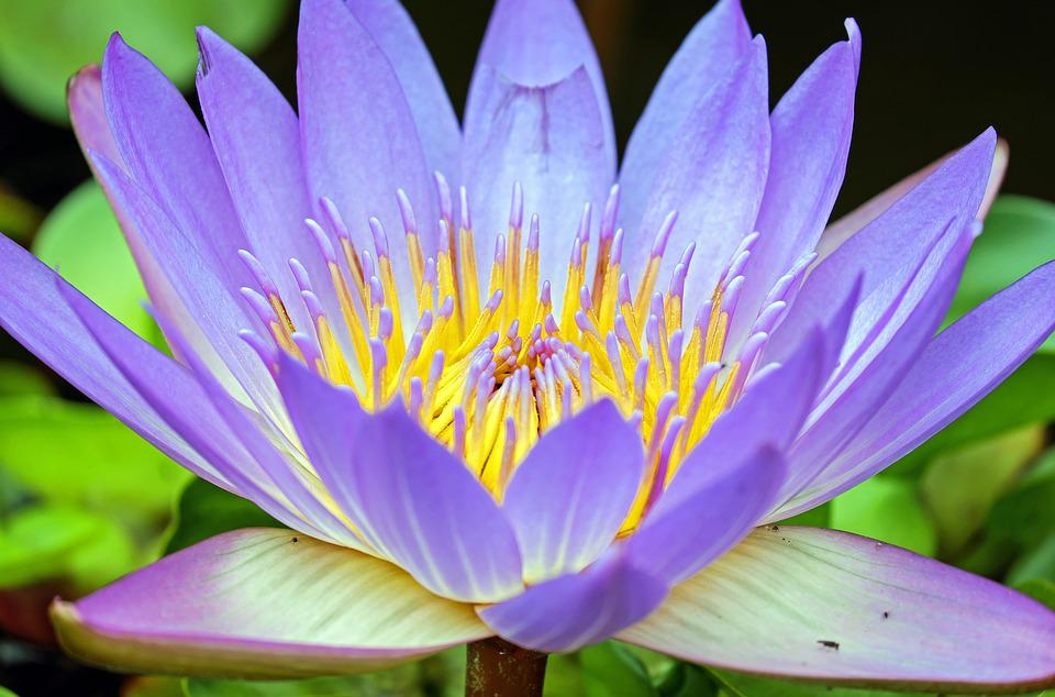 free photo water lily, flower, flowers, purple  free image on, Natural flower