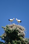 storks, treetop