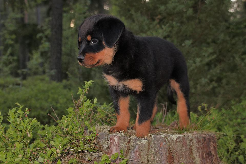 What is a black forest rottweiler