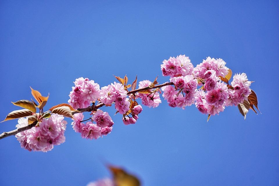 Cerisier du japon arbre fleurs photo gratuite sur pixabay - Arbre japonais rose ...