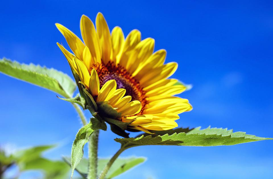 Sunflower, Flower, Bloom, Yellow, Summer