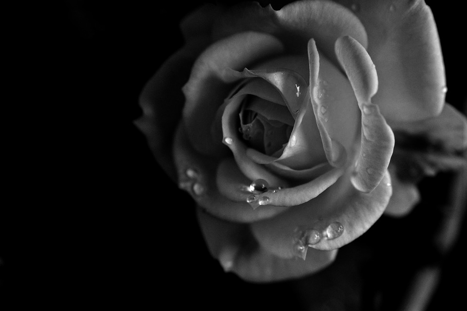 Rose flower black and white free photo on pixabay rose flower black and white water drops mightylinksfo