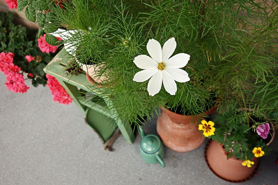 Cosmea Blume Garten Straße Kostenloses Foto Auf Pixabay