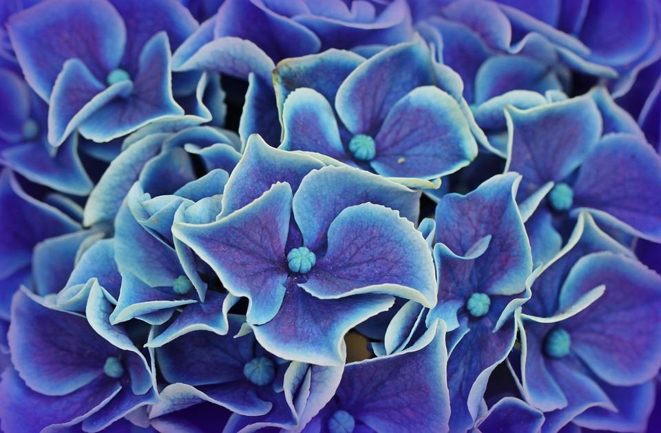 hydrangea hydrangea flowers blossom bloom flower