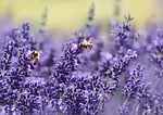 lavender, bee, summer