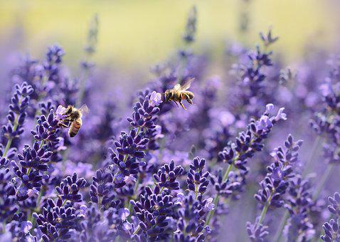 Lavender, Bee, Summer, Purple, Garden