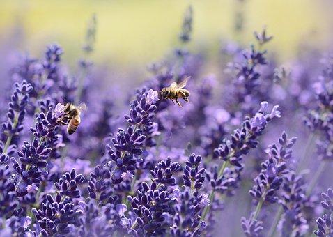 ラベンダー, ミツバチ, 受粉する, 受粉, 翼のある昆虫, 昆虫, ハチ目