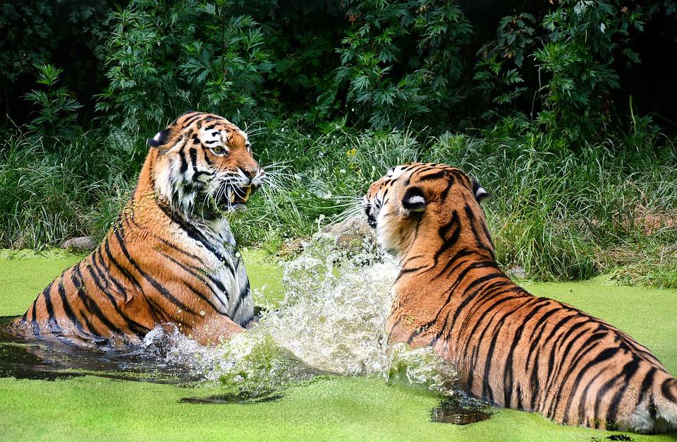 Tiger, Big Cat, Zoo, Portrait, Predator, Animal World