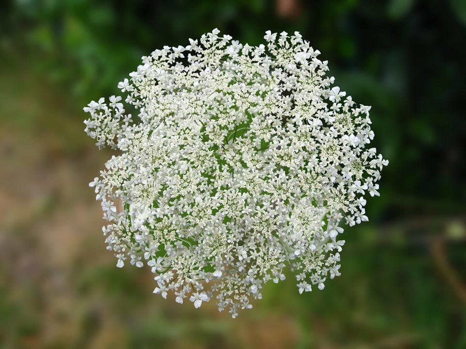 Doldenblütler Weiß
