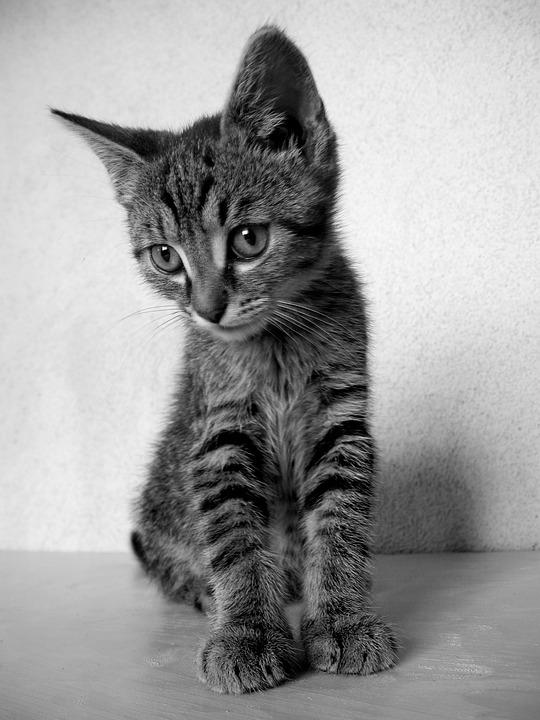 Cat kitten black and white cat tomcat domestic cat