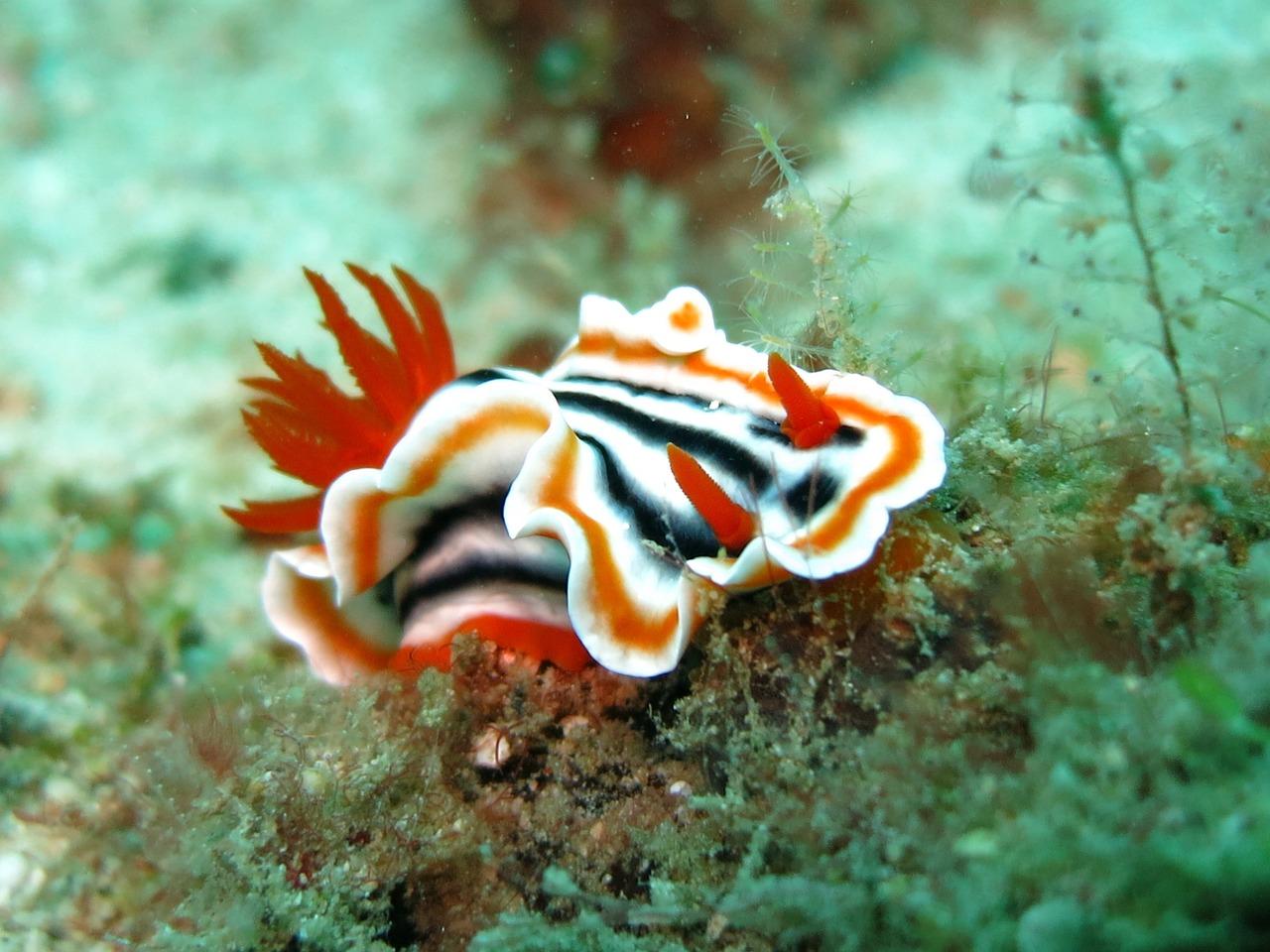 nudibranch chromodoris looks like ribbon candy