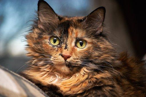 Katze, Haustier, Pelzig, Gesicht, Augen