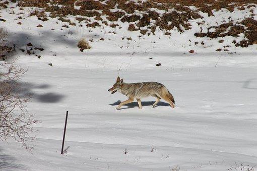 Coyote, Animal, Winter, Wildlife, Nature
