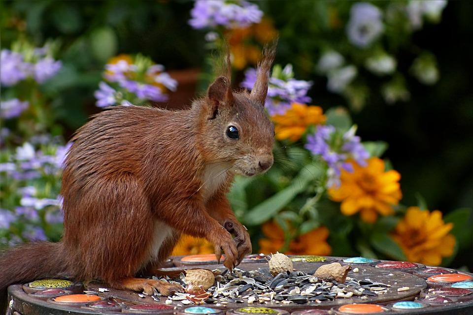 Squirrel, Sciurus Vulgaris Major, Mammal, Mindfulness