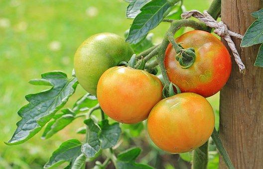 トマト, 野菜, Nachtschattengewächs, 食用作物, 庭