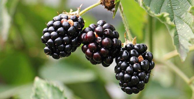 Blackberries, Bramble, Berries, Fresh