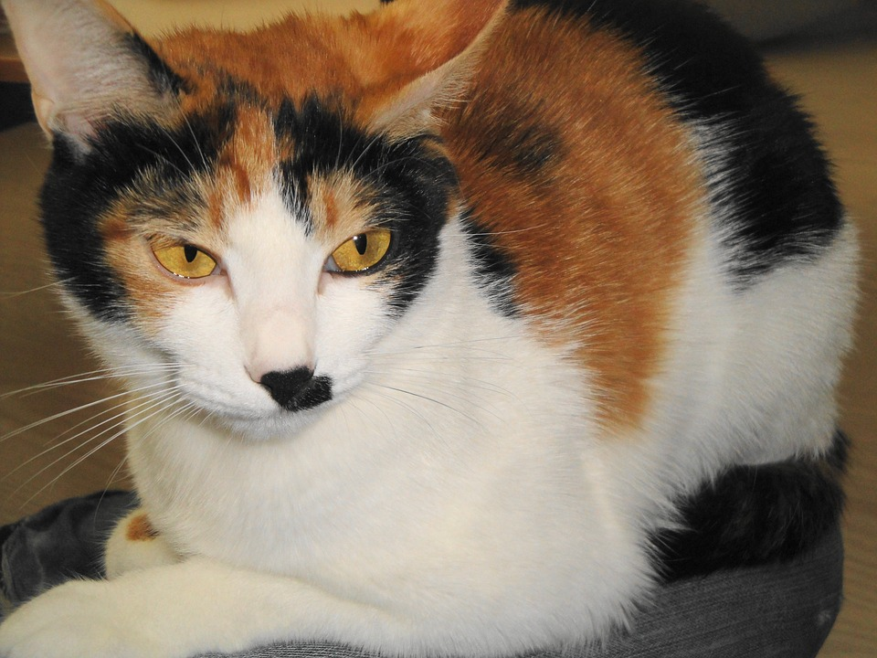 prednisolone for cats side effects