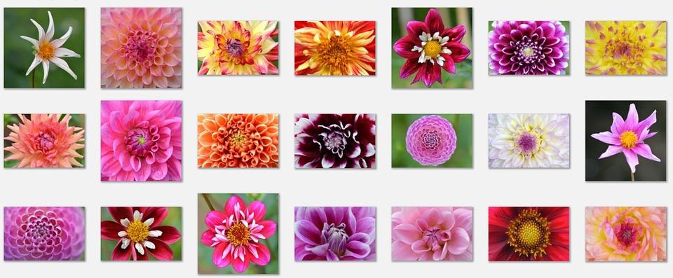 Bunga Dahlia Alam Gambar Gratis Di Pixabay