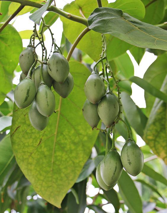 free photo tree fruits, tree, nature, fruits  free image on, Beautiful flower