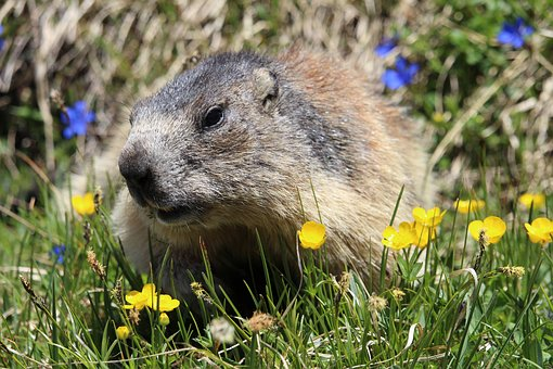 Marmot, Animal, Flower