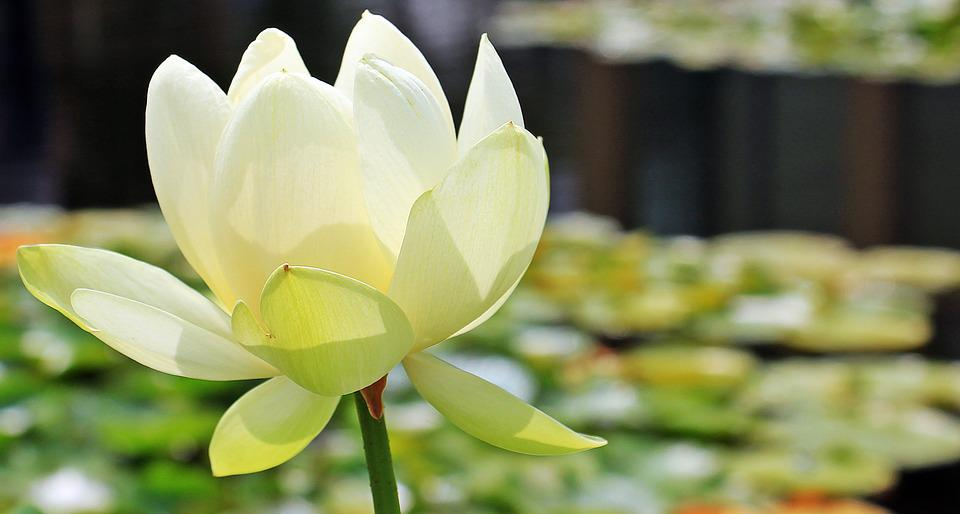 free photo lotus, lotus flower, lotus blossom  free image on, Natural flower