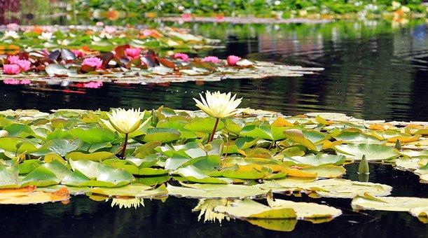 Seerosen, Teichrosen, Wasserpflanzen
