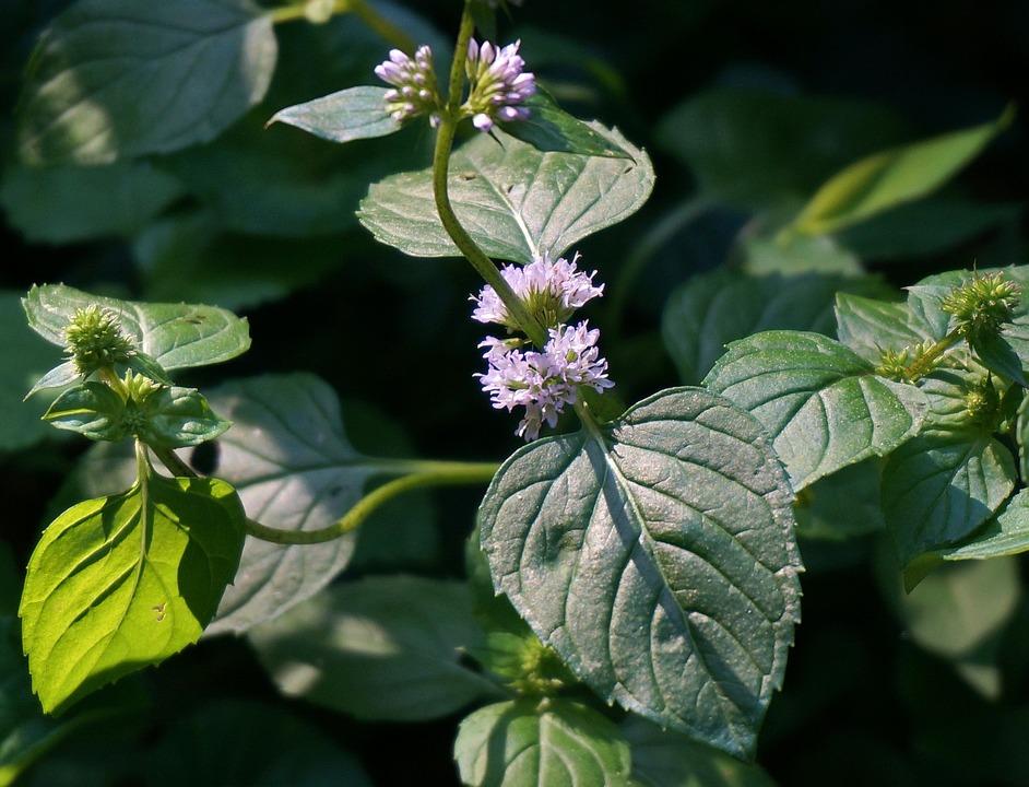 Mint Flower Purple - Free photo on Pixabay