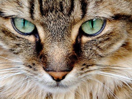 Cat, Feline, Cat Eyes, Green Eyes, Pets