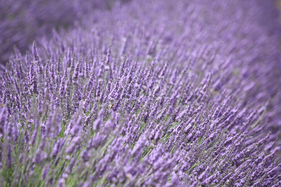 free photo lavender, purple, flower, fragrance  free image on, Natural flower