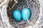 bird, eggs, nest
