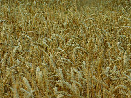 Field, Cornfield, On The Land, Cereals