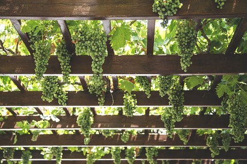 Grapes, Hang, Vineyard, Green