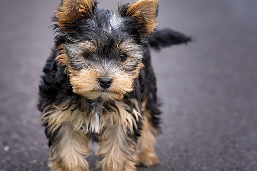 Yorkshire Terrier Puppies For Sale in Michigan