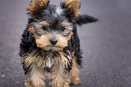 Yorkshire Terrier Puppies For Sale in Texas