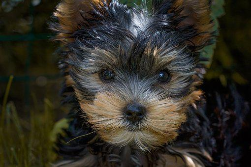 yorkshire terrier potty training