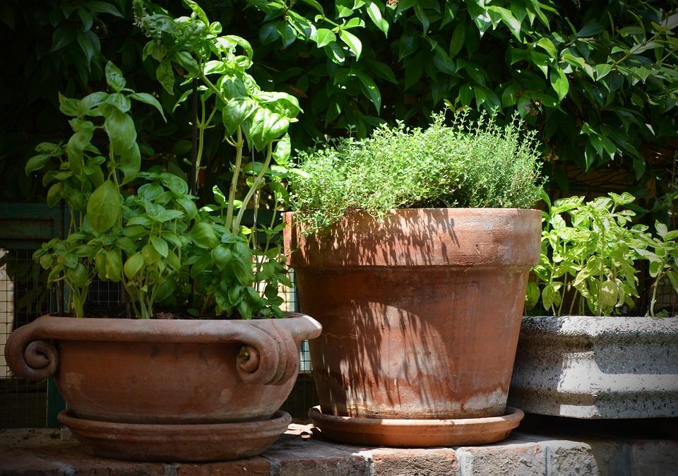 du sentier au potager, plante utile, recette, diy, Basilic, Thym, En Terre Cuite, Pot, Herbes