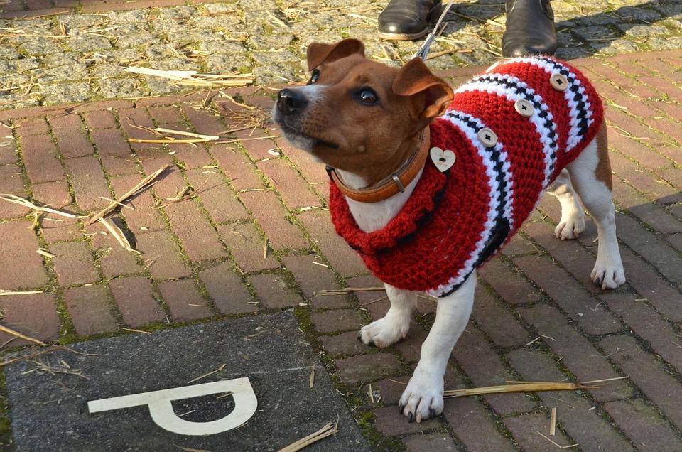 Hond Jack Russell Huisdier Gratis Foto Op Pixabay